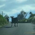 Maui Road Trip: Running of the Bulls