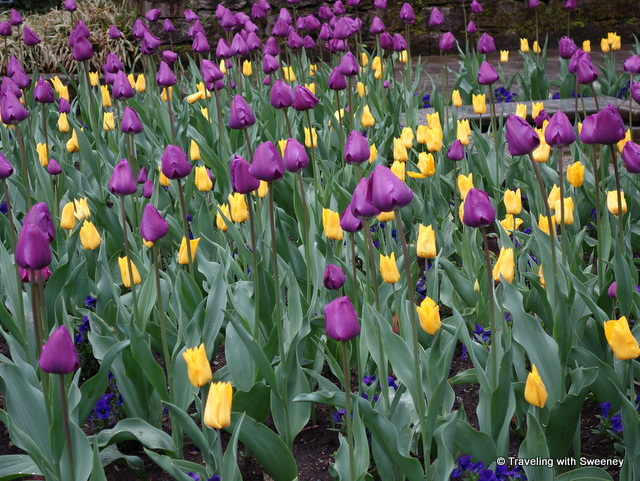 Lake Maggiore Gardens - A bed of purple and yellow tulips in the Botanical Gardens of Villa Taranto