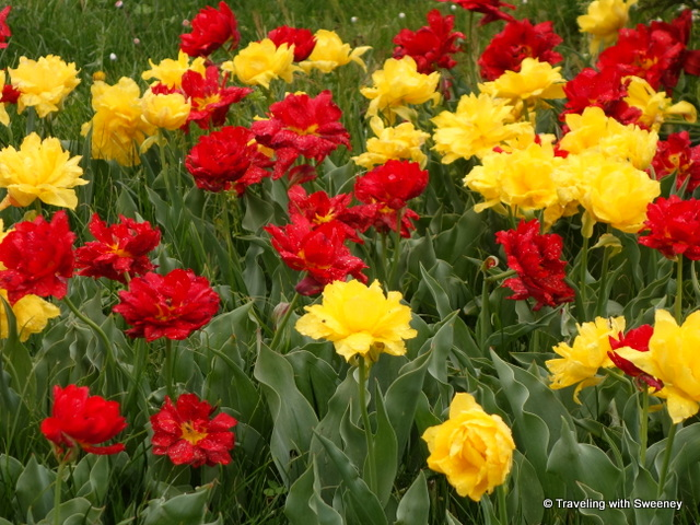 Lake Maggiore Gardens - Red and yellow tulips that look more like roses at Villa Taranto, one of the beautiful gardens of Lake Maggiore