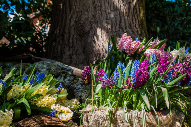 Lake Maggiore Gardens - Beautiful hyacinth -- Photo credit: Emilia Grisetti