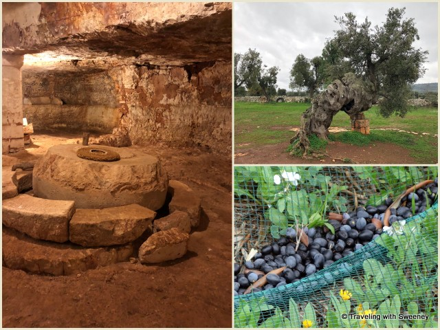 Underground olive mill, ancient olive tree, and harvested olives at Antica Masseria Brancati in Ostuni, Italy