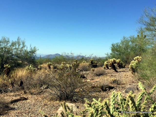 Cholla on the Paradise Trail with view of Camelback Mountain