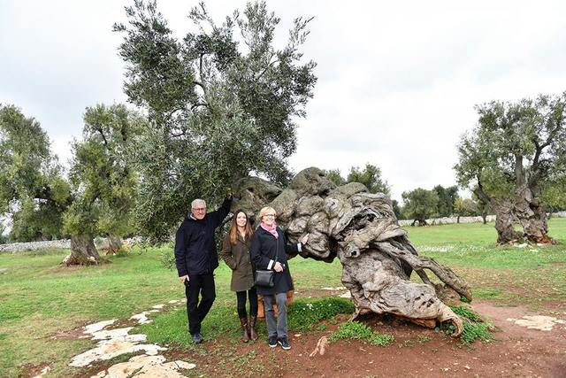 Over 3,00o-year-old olive tree still producing olives at Antica Masseria Brancati in Ostuni, Puglia, Italy -- Photo by Federica Donadi
