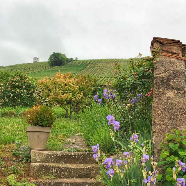 Vineyards of Domaine Hering winery in Barr in the Alsace region of France