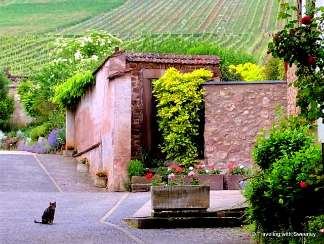 A vineyard, pretty flowers, and a cat at Domaine Hering winery in Barr France on a shore excursion with Viking River Cruises