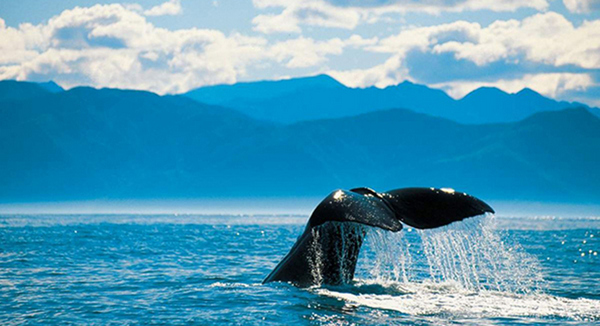 Whale watching in Kaikoura, New Zealand