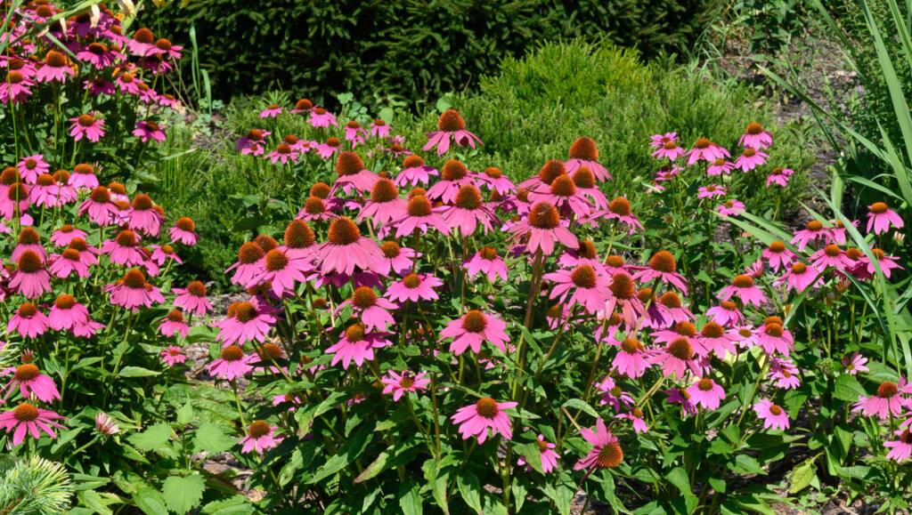 Pink flowers in a garden in Tryon Park in Upper Manhattan, New York City