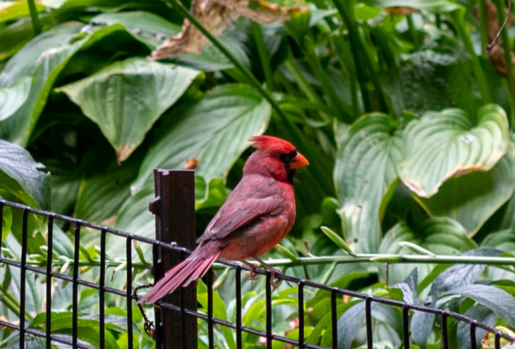 A beautiful red bird photographed by Barbara Nelson in Fort Tryon Park in Upper Manhattan