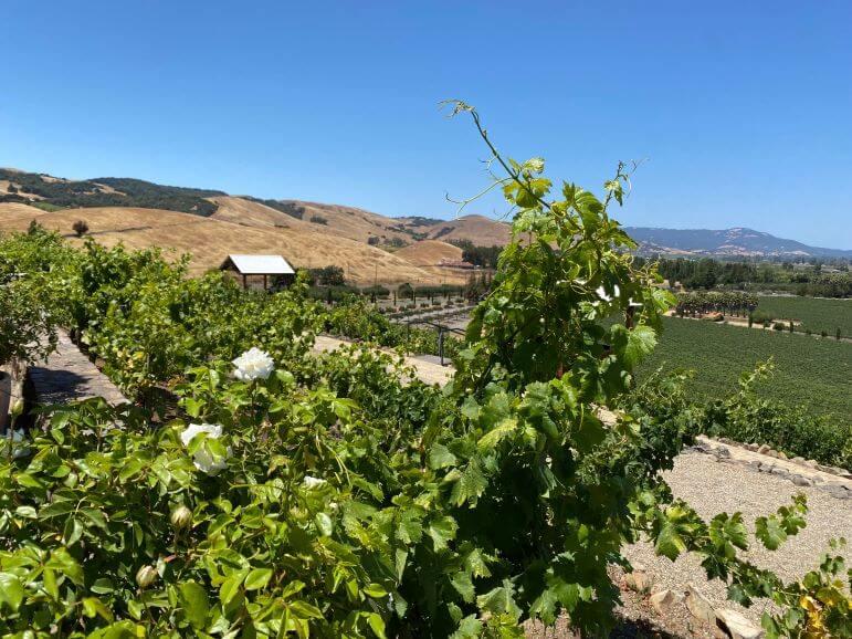 Vineyard scene at Viansa Winery in Sonoma, California